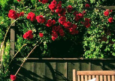 Rosen schneiden für üppige Blütenpracht