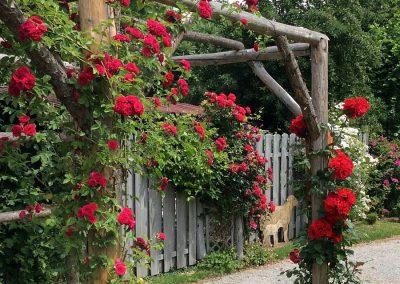 Ein Abend rund um die Rose